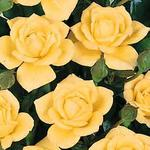 Climbing miniature patio rose Laura Ford
