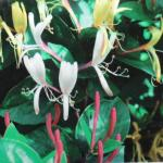 Lonicera japonica Repens