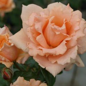 Climbing rose Breath Of Life