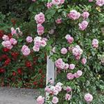 Climbing miniature patio rose Lavender Lassie