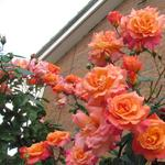 Climbing rose Sunrise