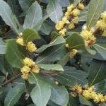 Sweet Bay Laurus nobilis