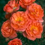 Climbing miniature patio rose Beautiful Sunrise