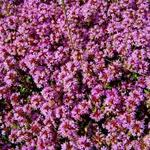 Thyme Creeping Red