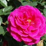 Climbing miniature patio rose Gloriana