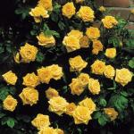 Climbing rose Golden Showers